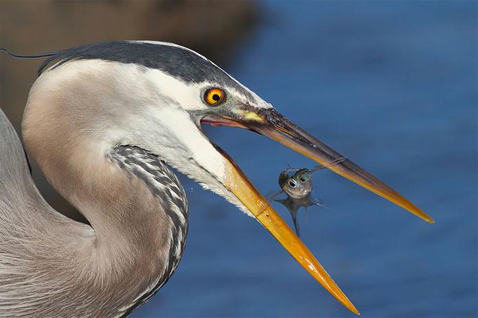 Oh oooooh! by bmse. Цапля поймала рыбку