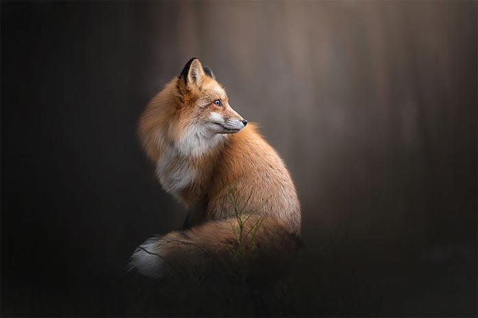 Melancholia by Alicja Zmysłowska. Рыжая лиса