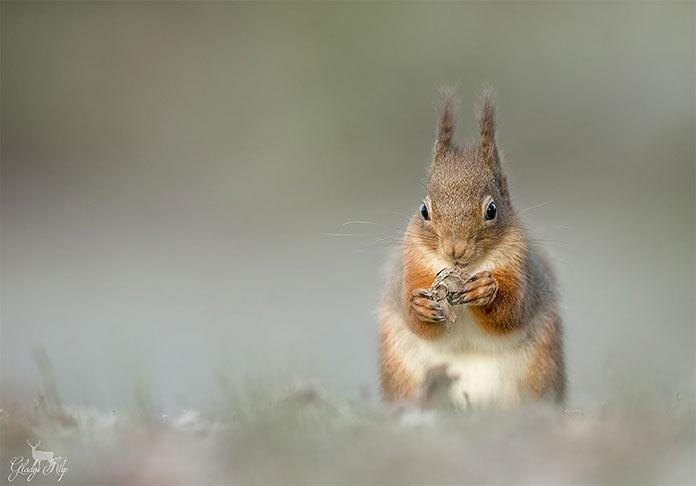 Eekhoorn / Red squirrel by Gladys Klip