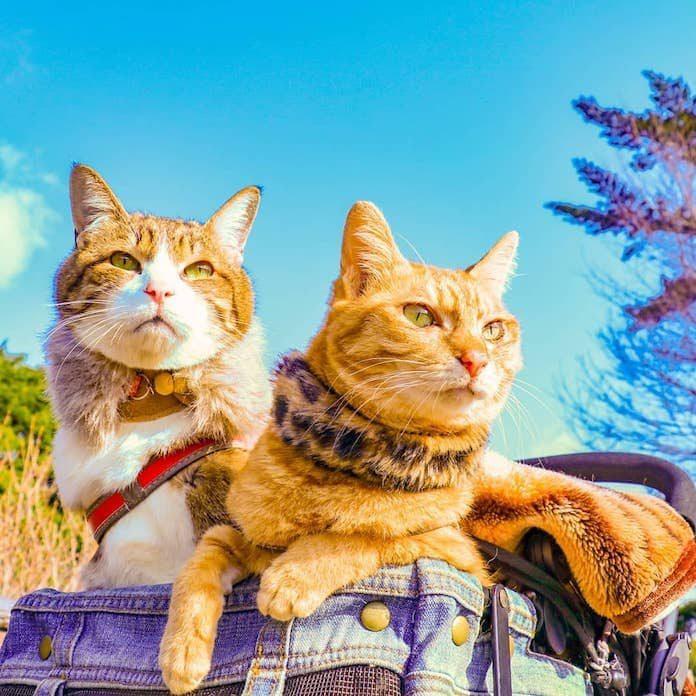 Путешествующие кошки из Японии
