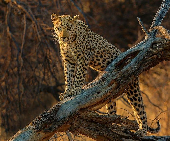 Леопард во время сафари в Намибии. Победители конкурса трэвел-фотографии среди читателей The Guardian