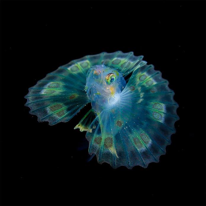 Подводные обитатели мирового океана. A Dendrochirus fish larva