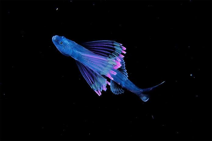 Подводные обитатели мирового океана. A tripod fish larva