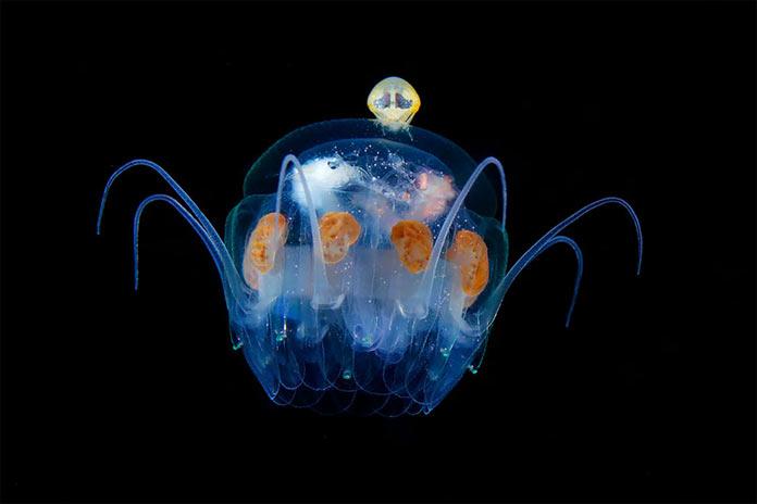 Подводные обитатели мирового океана. Hyperiidea on Nausithoe jellyfish
