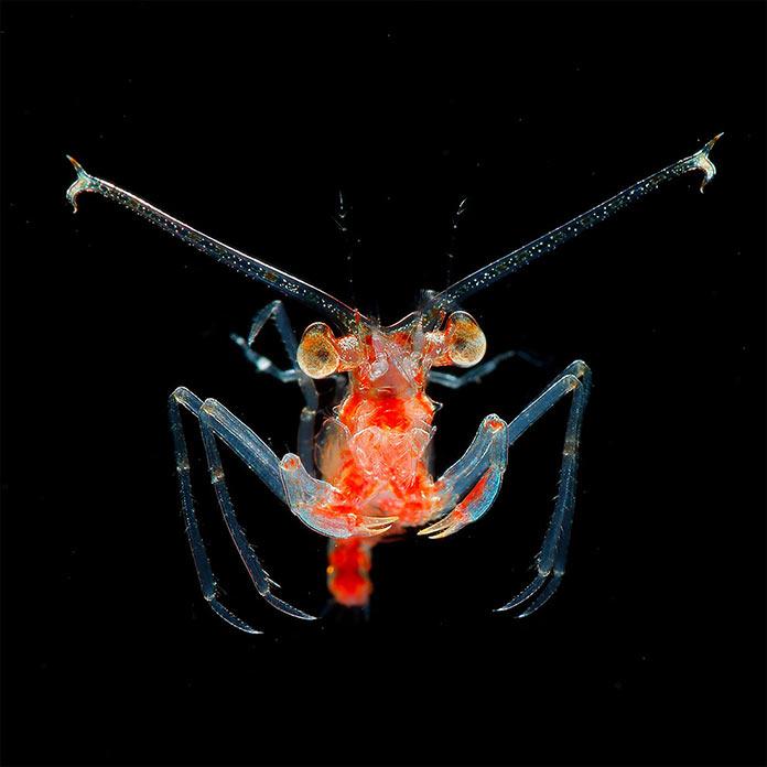 Подводные обитатели мирового океана. A Eplumula phalangium megalopa larva