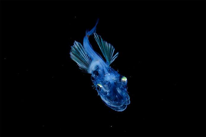 Подводные обитатели мирового океана. A Hoplichthys fish larva