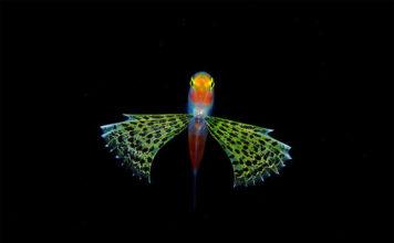 Подводные обитатели мирового океана. An uknown Gymnapogon larva